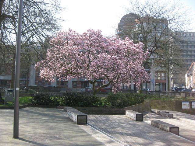 Magnolia in volle bloei aan Dijleterras. Prachtig!